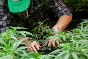 a farmer with cannabis insurance who is working in his cannabis dispensary