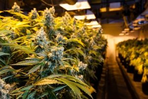 dispensary covered by cannabis insurance that has many heating lamps